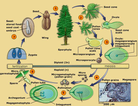 Sexual reproduction in angiosperms and gymnosperms